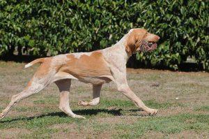 perros de Italia