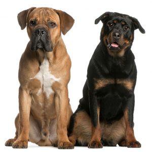 perros originarios de Italia