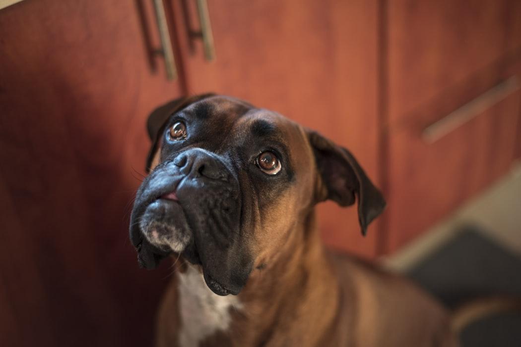 perro grande para piso