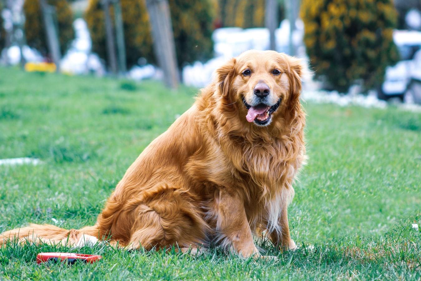 razas de perros grandes para pisos